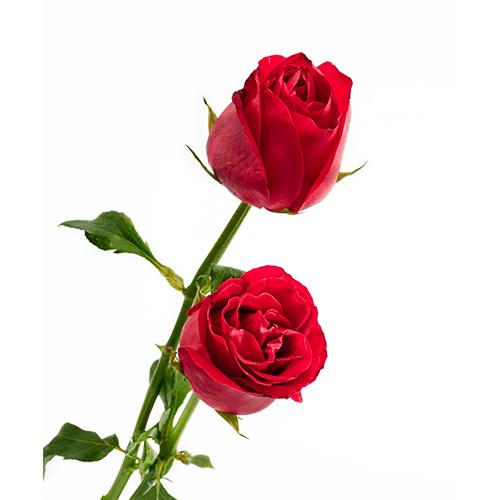 Rosas entrelazadas